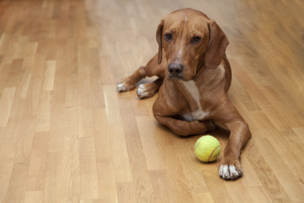 Dogs and hardwood floors reno tahoe nv artisan for Hardwood floors and dogs
